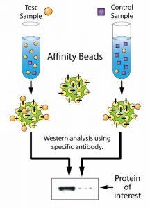 Affinitäts-Beads