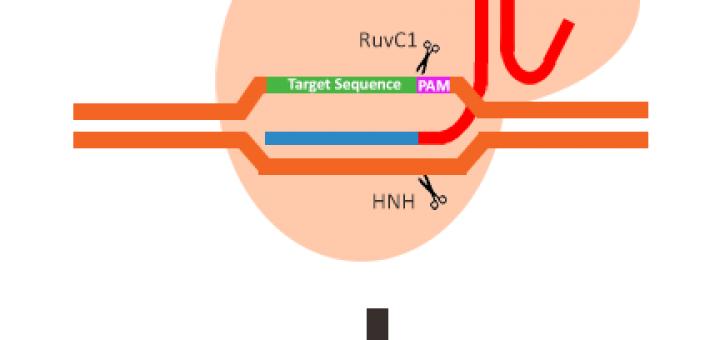 CRISPR/Cas9 Nuclease
