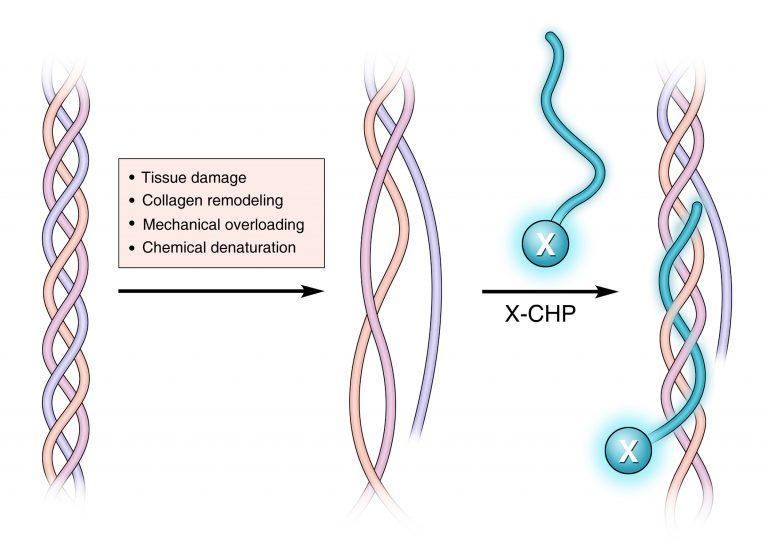 Kollagen Hybridizierendes Peptid (CHP)