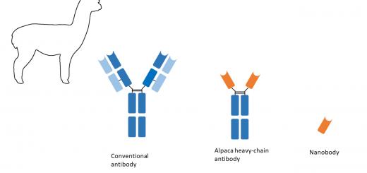 Ein konventioneller Antikörper besteht aus zwei leichten und zwei schweren Ketten. Der deutlich kleinere Kamelid-Antikörper besteht nur aus zwei schweren Ketten. Die Fragmente der Kamel, Lama und Alpaka Antiköper werden auch als Nanobodies (Nanobody) bezeichnet.